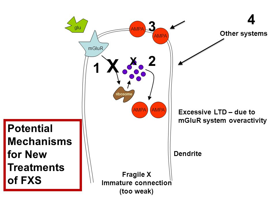 AMPA ribosome mGluR glu Fragile X Immature connection (too weak) Excessive LTD – due to mGluR system overactivity Dendrite 1 2 3 4 X X AMPA Other systems Potential Mechanisms for New Treatments of FXS