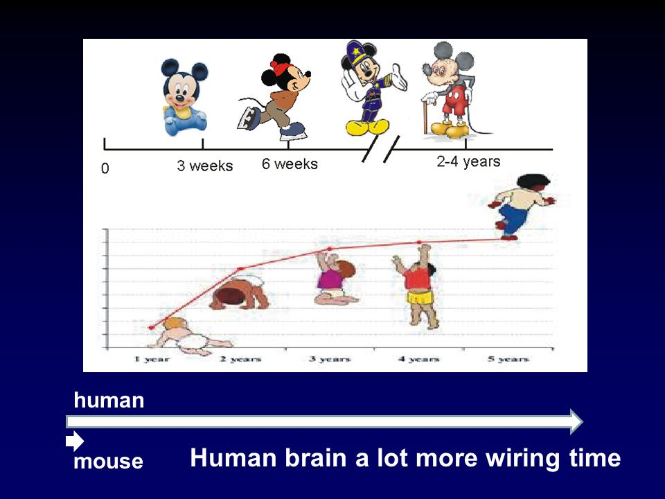 human mouse Human brain a lot more wiring time