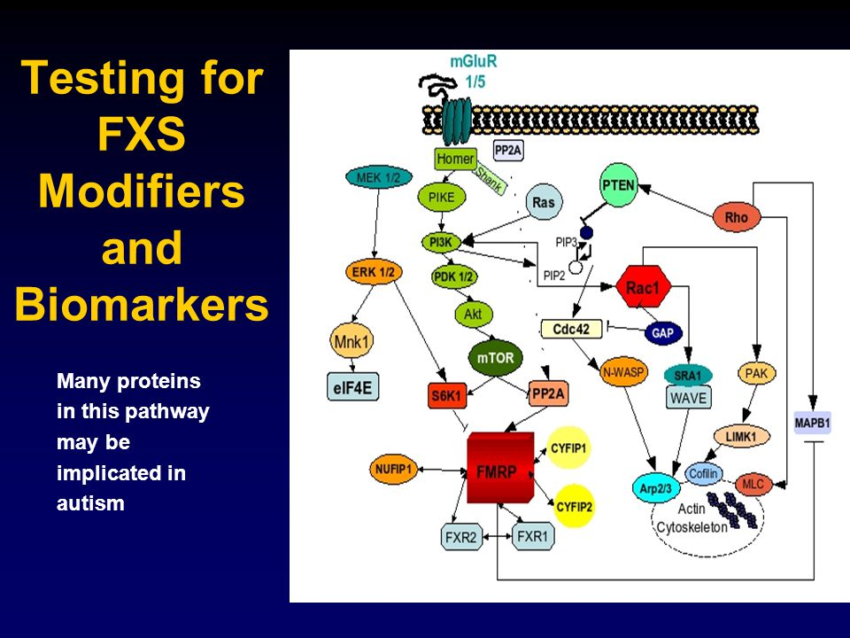 Testing for FXS Modifiers and Biomarkers Many proteins in this pathway may be implicated in autism