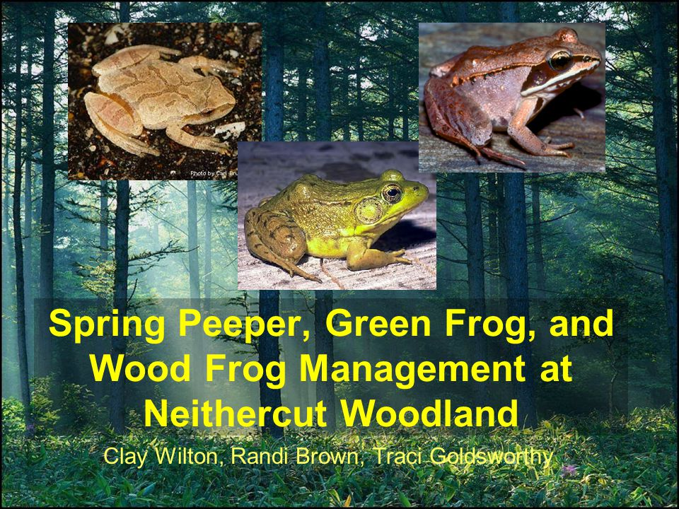 Spring Peeper, Green Frog, and Wood Frog Management at Neithercut Woodland Clay Wilton, Randi Brown, Traci Goldsworthy