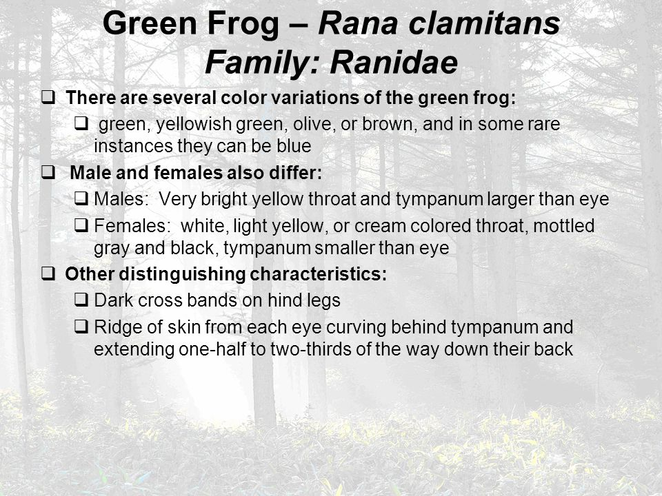 Green Frog – Rana clamitans Family: Ranidae  There are several color variations of the green frog:  green, yellowish green, olive, or brown, and in some rare instances they can be blue  Male and females also differ:  Males: Very bright yellow throat and tympanum larger than eye  Females: white, light yellow, or cream colored throat, mottled gray and black, tympanum smaller than eye  Other distinguishing characteristics:  Dark cross bands on hind legs  Ridge of skin from each eye curving behind tympanum and extending one-half to two-thirds of the way down their back