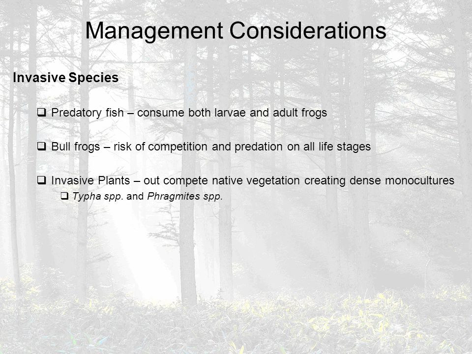 Management Considerations Invasive Species  Predatory fish – consume both larvae and adult frogs  Bull frogs – risk of competition and predation on all life stages  Invasive Plants – out compete native vegetation creating dense monocultures  Typha spp.