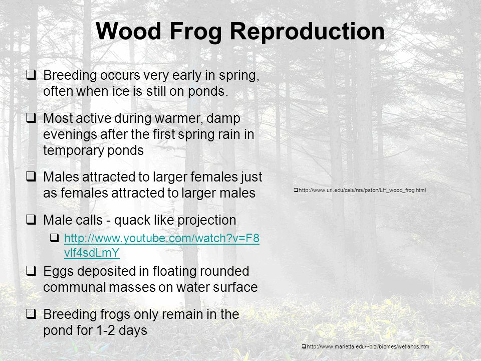 Wood Frog Reproduction  Breeding occurs very early in spring, often when ice is still on ponds.  Most active during warmer, damp evenings after the