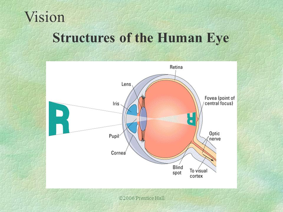©2006 Prentice Hall Vision Structures of the Human Eye
