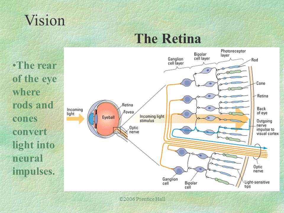 ©2006 Prentice Hall The rear of the eye where rods and cones convert light into neural impulses. Vision The Retina