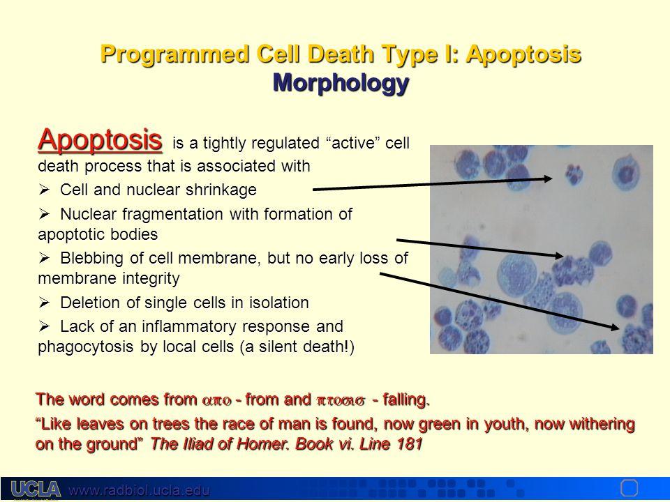 www.radbiol.ucla.edu Pathologic Programmed Cell Death Self sacrifice by infected/damaged cellsSelf sacrifice by infected/damaged cells Self sacrifice