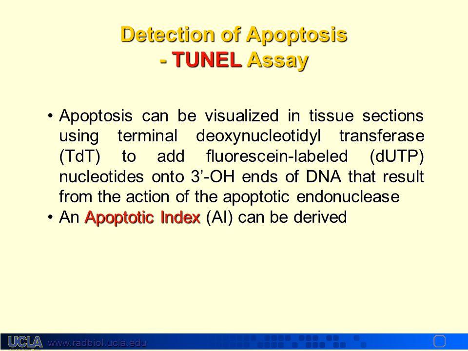 www.radbiol.ucla.edu Programmed Cell Death Type I: Apoptosis Molecular Hallmarks Histones H2,H3,H4 DNA Spacer Region (60-100 bp) Nucleosome DNA Core (