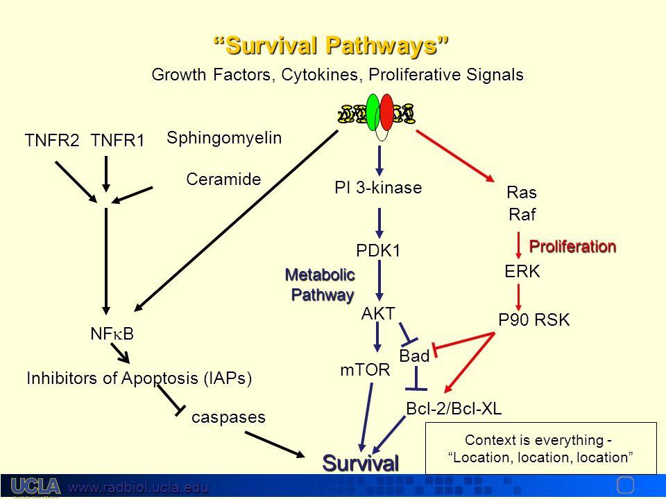 www.radbiol.ucla.edu SphingomyelinCeramide Members of TNFR family With Death Domains p53 ATM BaxBcl-2/Bcl-xl Mitochondria Cytochrome c Caspase 9 Apopt