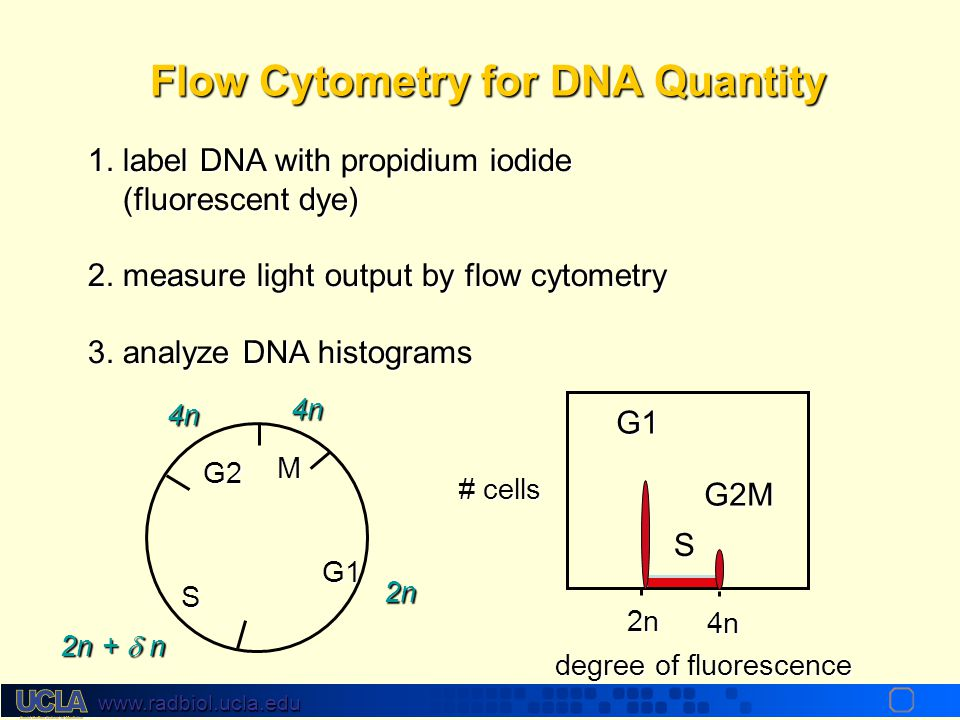 www.radbiol.ucla.edu From FLM to FACS Label cells with dye and use a laser to excite it. Collect output by photomultiplier tubes. E.g. DNA can be labe