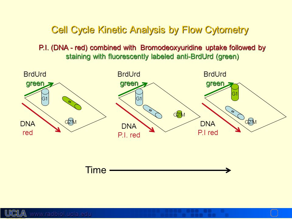 www.radbiol.ucla.edu Flow Cytometry for DNA Quantity 1. label DNA with propidium iodide (fluorescent dye) (fluorescent dye) 2. measure light output by