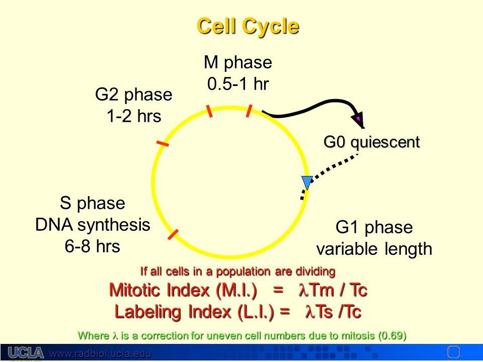 www.radbiol.ucla.edu Cell Cycle Kinetic Analysis by Flow Cytometry G1 s G2/M BrdUrdgreen DNA red G1 s G2/M BrdUrdgreen DNA P.I red G1 s G2/M BrdUrdgre
