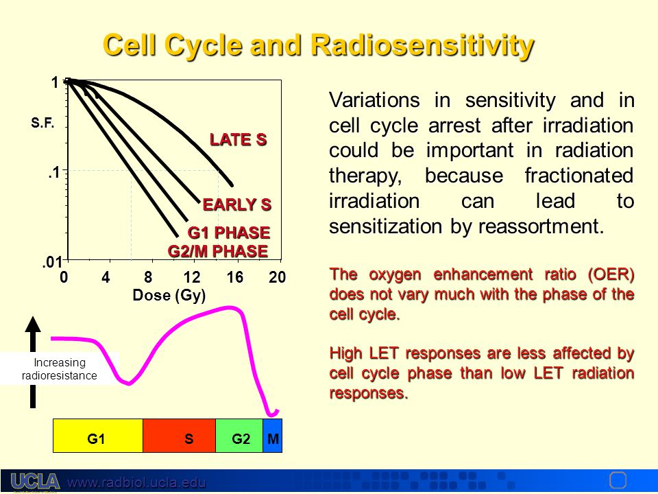 www.radbiol.ucla.edu Cell Cycle Synchronisation The best estimates of kinetics come from use of cells synchronized in a specific cell cycle phase Mito