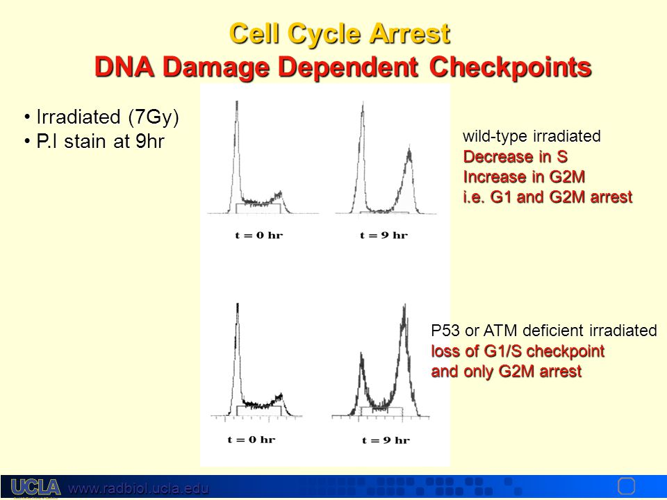 """www.radbiol.ucla.edu Cell Cycle Arrest Cells have """"checkpoints"""" where they """"proof-read"""" DNA for damage before continuing to cycle. This ensures faithf"""
