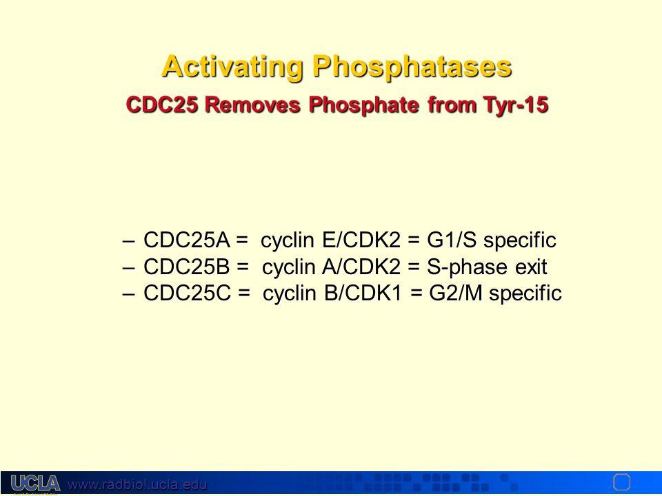 www.radbiol.ucla.edu Cyclin Dependent Kinases Cyclins bind and activate Cdks, whichCyclins bind and activate Cdks, which –Are serine/threonine kinases