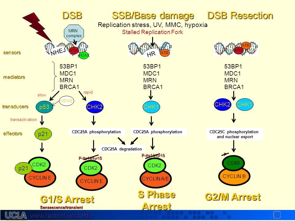 www.radbiol.ucla.edu Cyclin Kinase Inhibitors PhaseComplexesInhibitors G1 cyclin D-CDK4, 6p16 (INK 4a), p19 ARF (INK 4a) p15 (INK4b) G1/S cyclin E-CDK