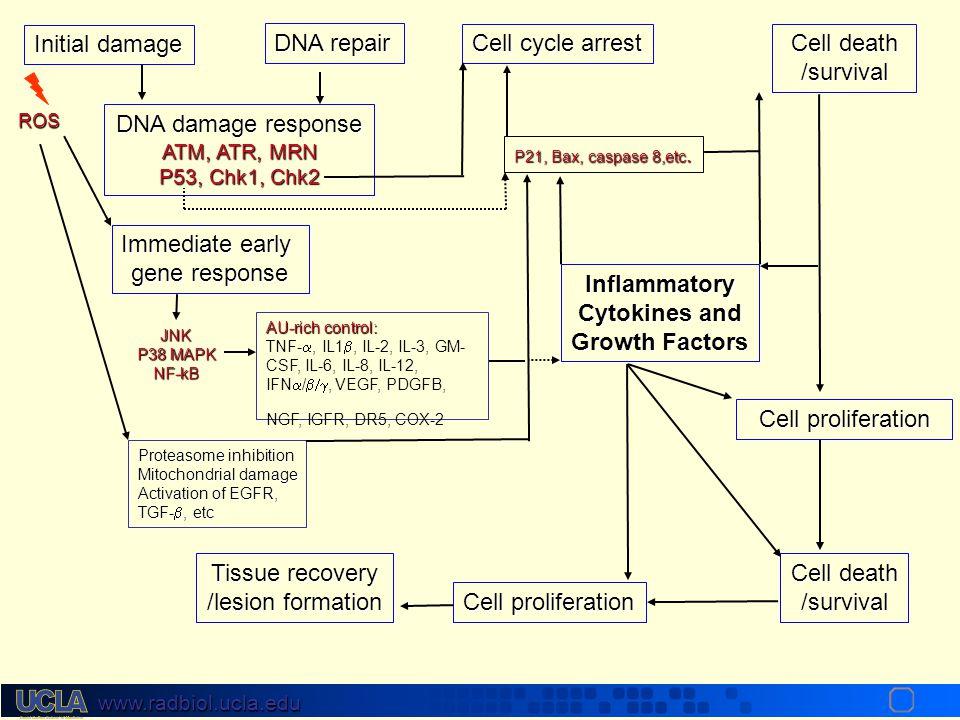 www.radbiol.ucla.edu Growth Factor/Cytokine Receptor Proliferation Cell death Oncogenes RasRafMAPK PI3K NF-  B SurvivalSignals Cancer