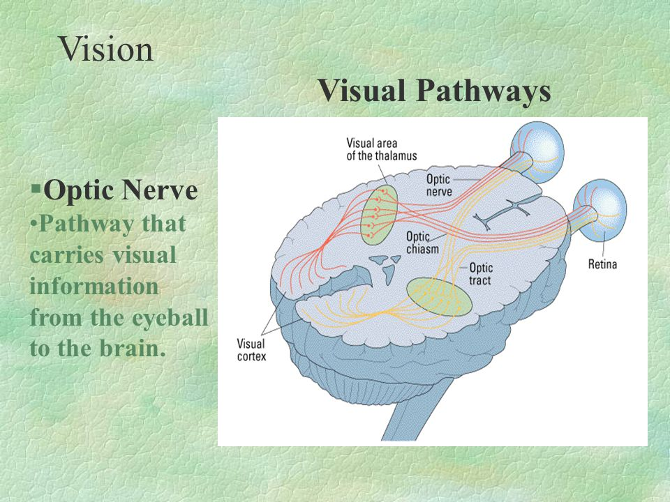 §Optic Nerve Pathway that carries visual information from the eyeball to the brain. Vision Visual Pathways