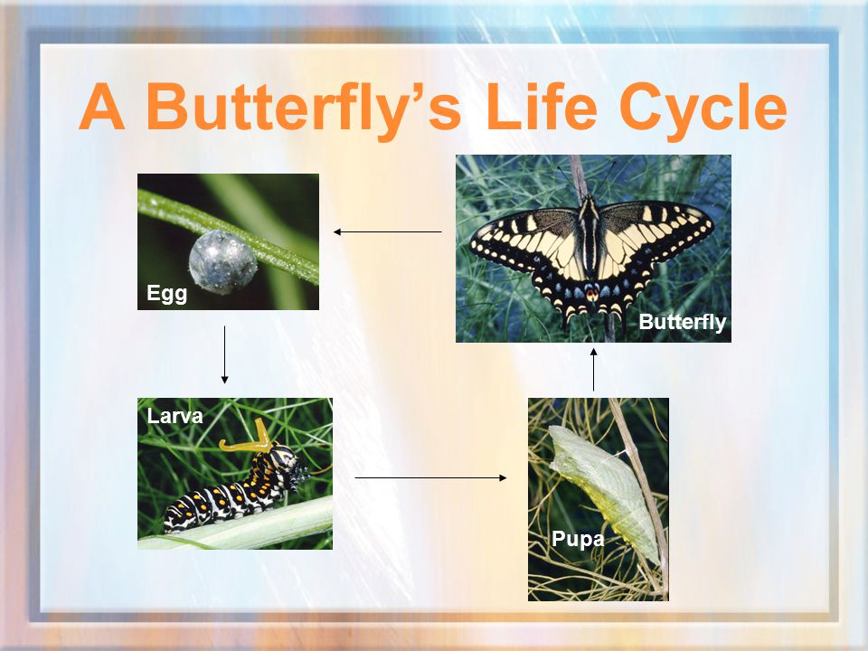 A Butterfly's Life Cycle Egg Larva Pupa Butterfly