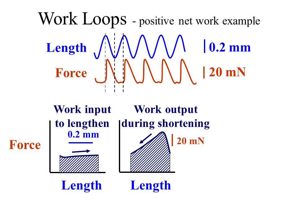 Work Loops - positive net work example Force Work output during shortening Length 20 mN Length Force 0.2 mm 20 mN Length Work input to lengthen 0.2 mm