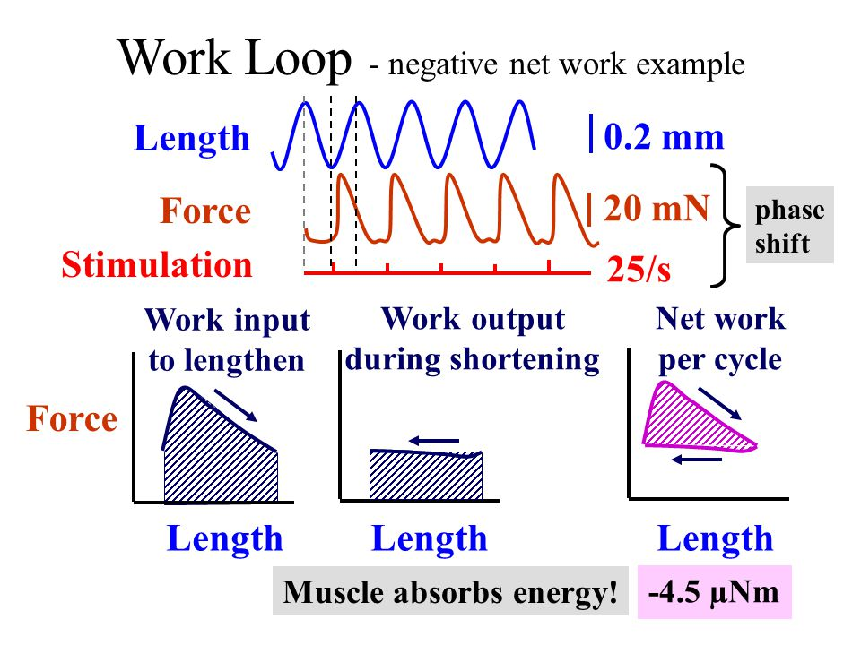 Work Loop - negative net work example Force Length Force 0.2 mm 20 mN Stimulation Work output during shortening Length Work input to lengthen Net work per cycle Length 25/s -4.5 µNm phase shift Muscle absorbs energy!