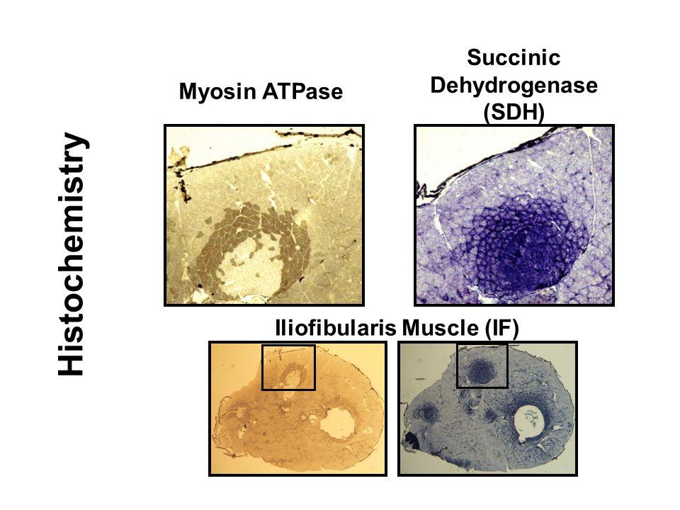 Iliofibularis Muscle (IF) Succinic Dehydrogenase (SDH) Histochemistry Myosin ATPase