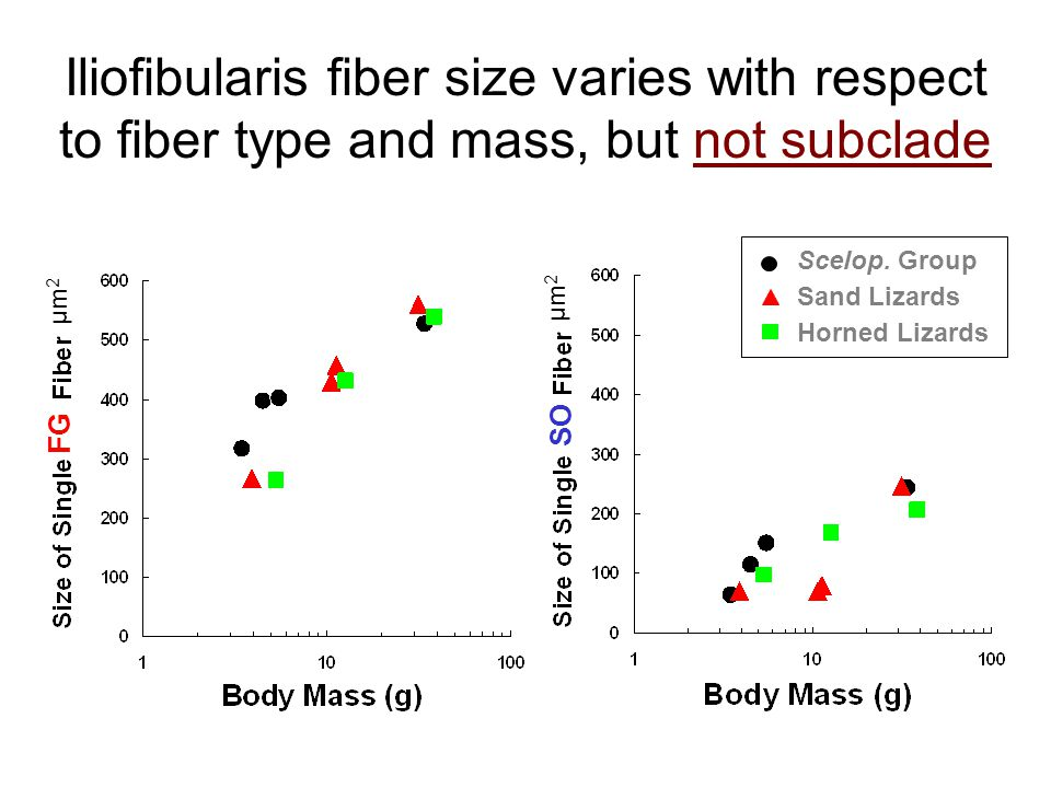 µm 2 Iliofibularis fiber size varies with respect to fiber type and mass, but not subclade Scelop.