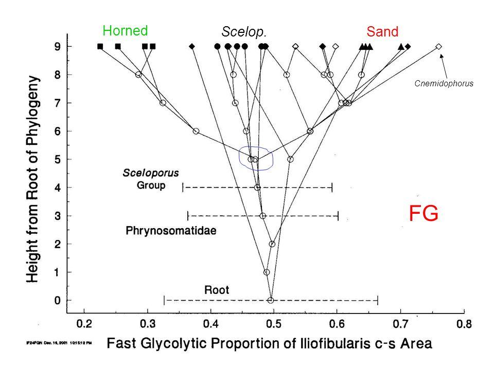 Cnemidophorus FG Horned Scelop.Sand