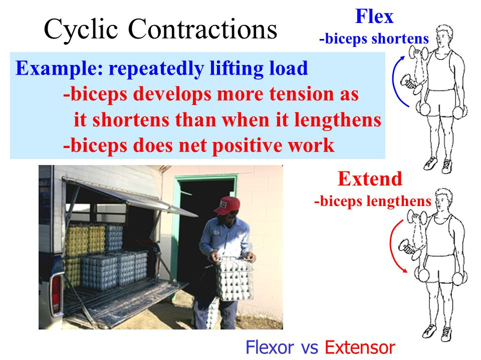 Cyclic Contractions Example: repeatedly lifting load -biceps develops more tension as it shortens than when it lengthens -biceps does net positive work Flex -biceps shortens Extend -biceps lengthens Flexor vs Extensor