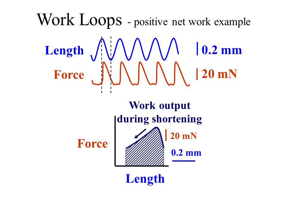 Work Loops - positive net work example Force Length Force 0.2 mm 20 mN Work output during shortening Length 20 mN 0.2 mm