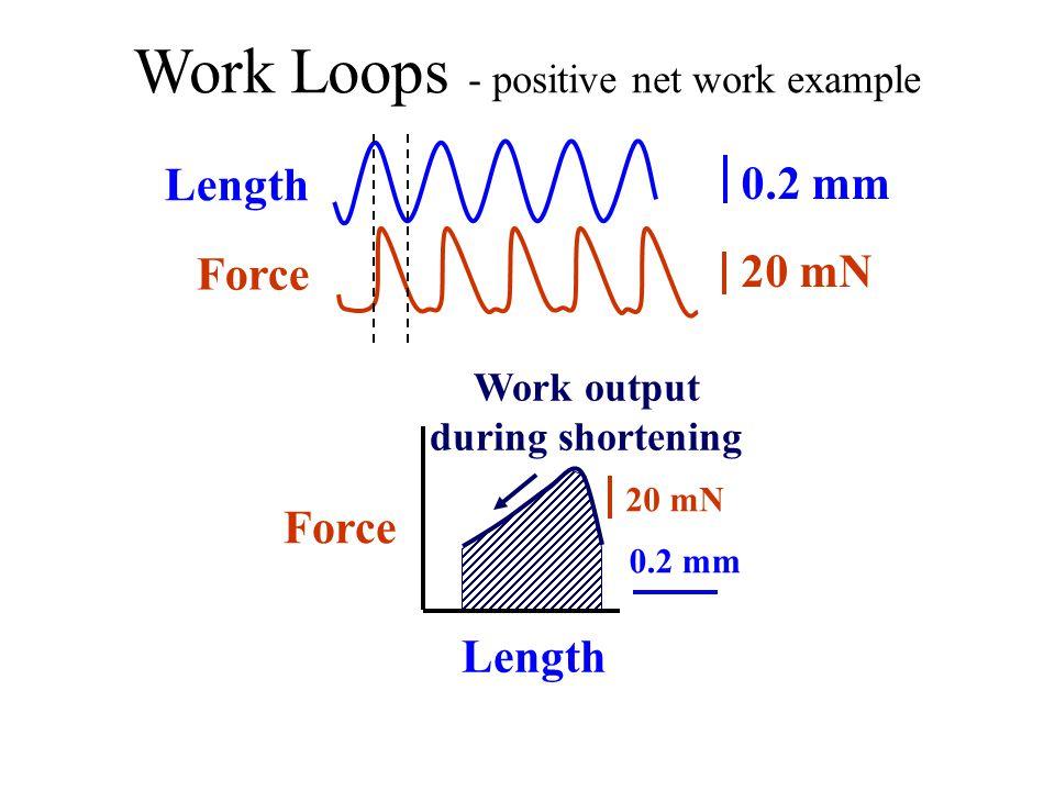 Work Loops - positive net work example Length Force Stimulation Time 0.2 mm 20 mN lengthen shorten lengthening (relaxation) 25/s