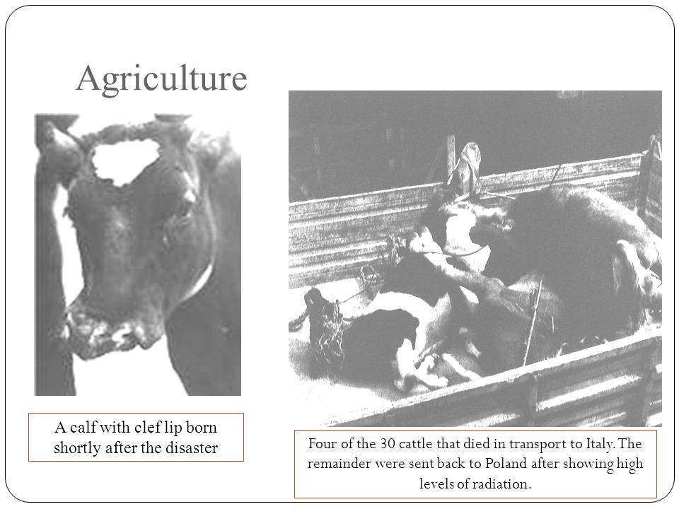 Agriculture A calf with clef lip born shortly after the disaster Four of the 30 cattle that died in transport to Italy.