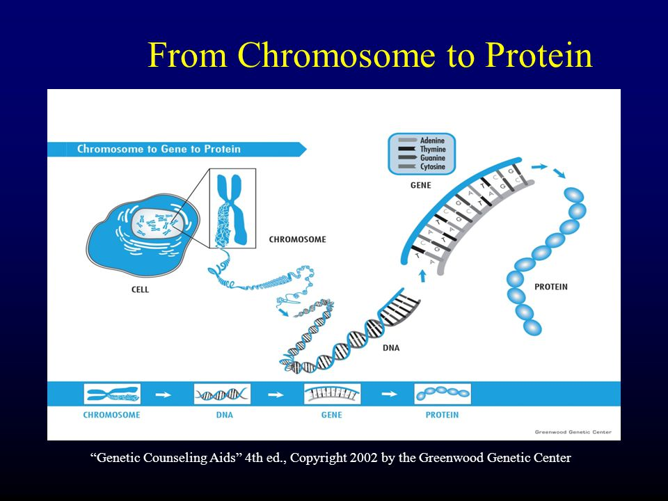 From Chromosome to Protein Genetic Counseling Aids 4th ed., Copyright 2002 by the Greenwood Genetic Center