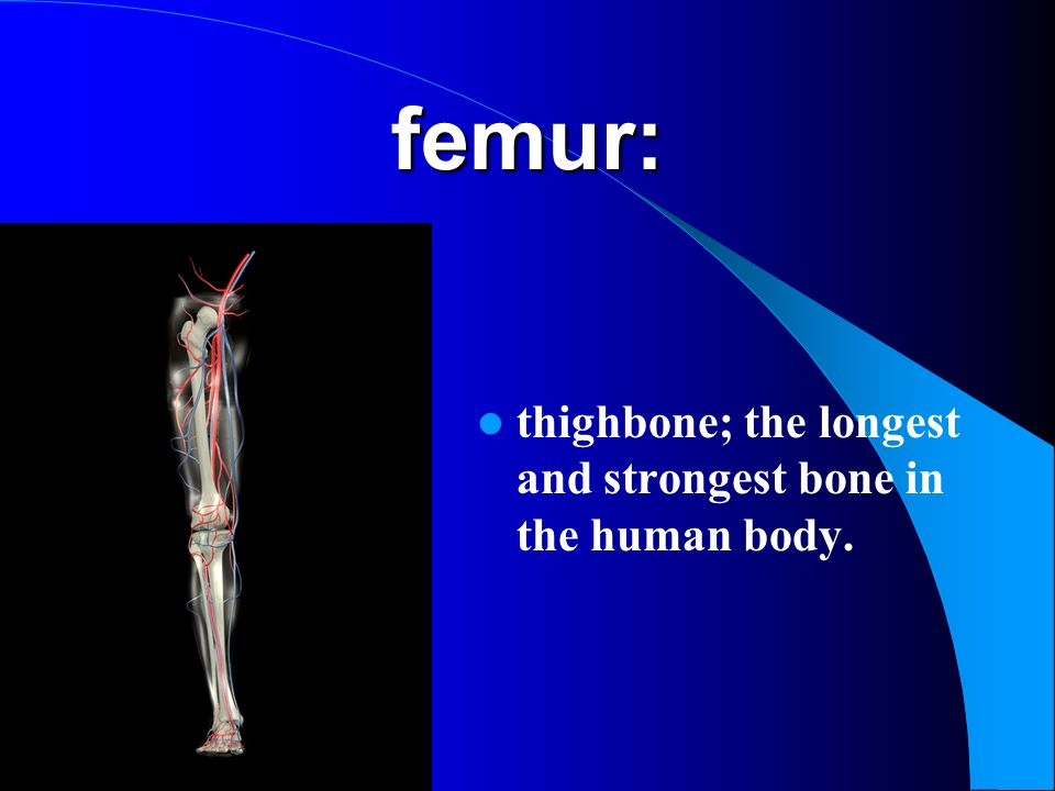 femur: thighbone; the longest and strongest bone in the human body.