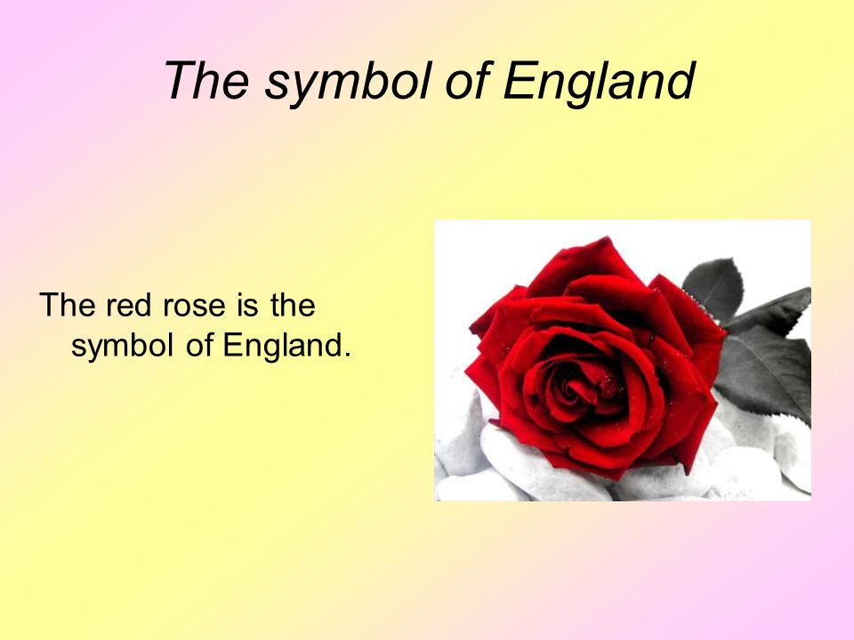 The symbol of England The red rose is the symbol of England.