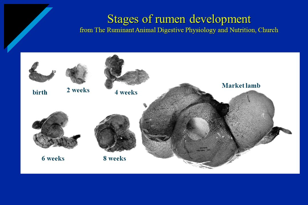 Stages of rumen development from The Ruminant Animal Digestive Physiology and Nutrition, Church birth 2 weeks 4 weeks 6 weeks8 weeks Market lamb