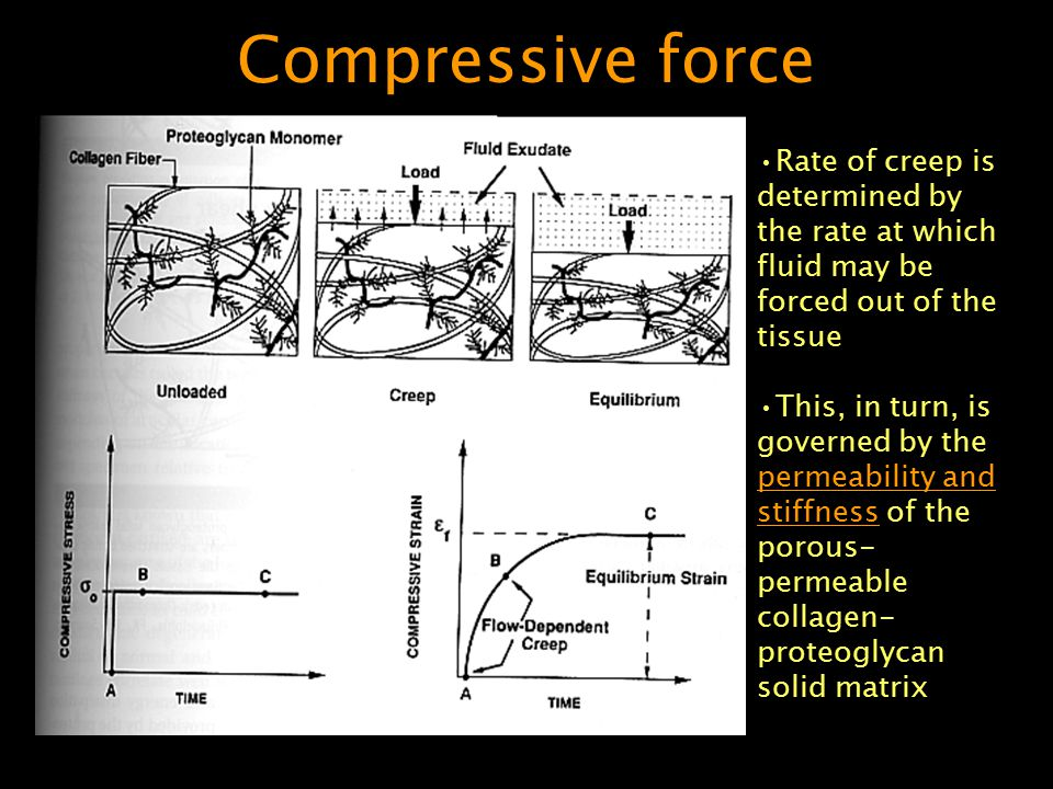 Compressive force Rate of creep is determined by the rate at which fluid may be forced out of the tissue This, in turn, is governed by the permeabilit