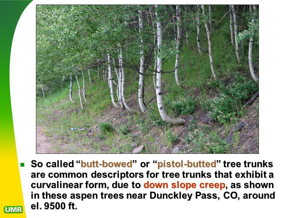 So called butt-bowed or pistol-butted tree trunks are common descriptors for tree trunks that exhibit a curvalinear form, due to down slope creep, as shown in these aspen trees near Dunckley Pass, CO, around el.