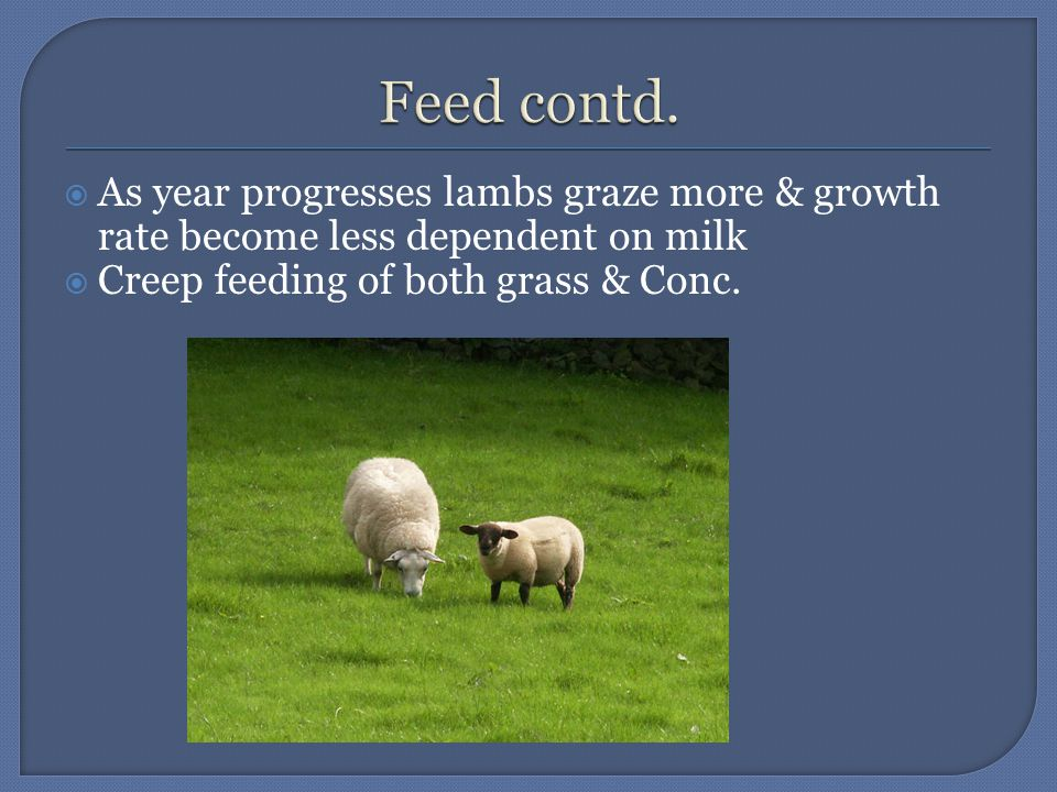  As year progresses lambs graze more & growth rate become less dependent on milk  Creep feeding of both grass & Conc.