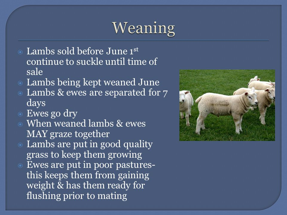  Lambs sold before June 1 st continue to suckle until time of sale  Lambs being kept weaned June  Lambs & ewes are separated for 7 days  Ewes go dry  When weaned lambs & ewes MAY graze together  Lambs are put in good quality grass to keep them growing  Ewes are put in poor pastures- this keeps them from gaining weight & has them ready for flushing prior to mating