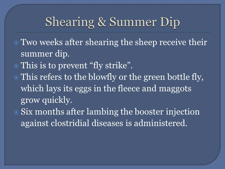  Two weeks after shearing the sheep receive their summer dip.