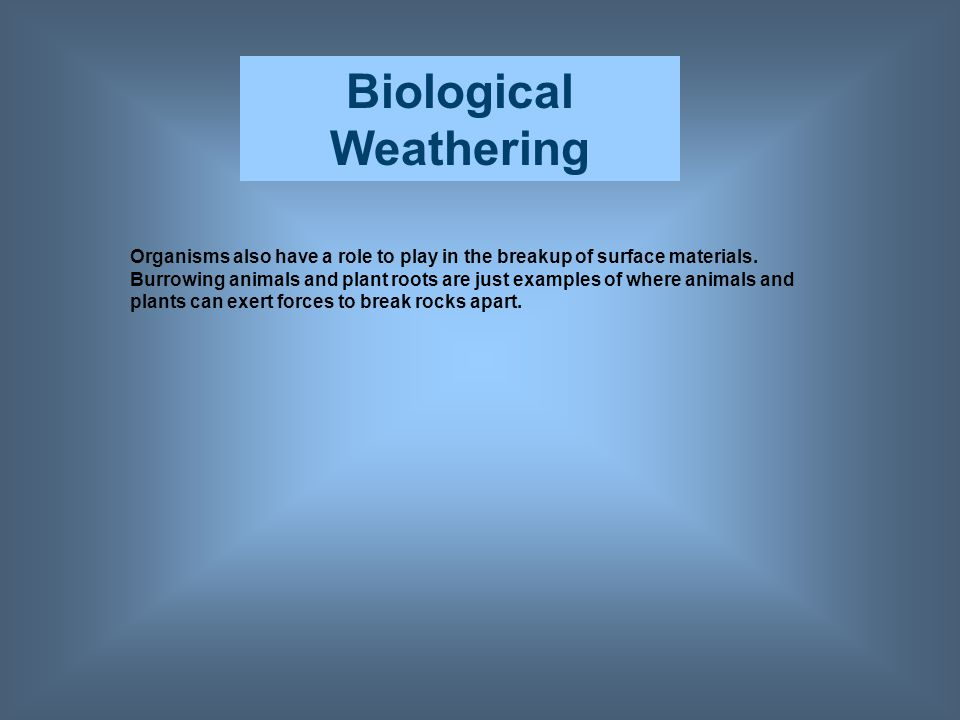 Biological Weathering Organisms also have a role to play in the breakup of surface materials. Burrowing animals and plant roots are just examples of w