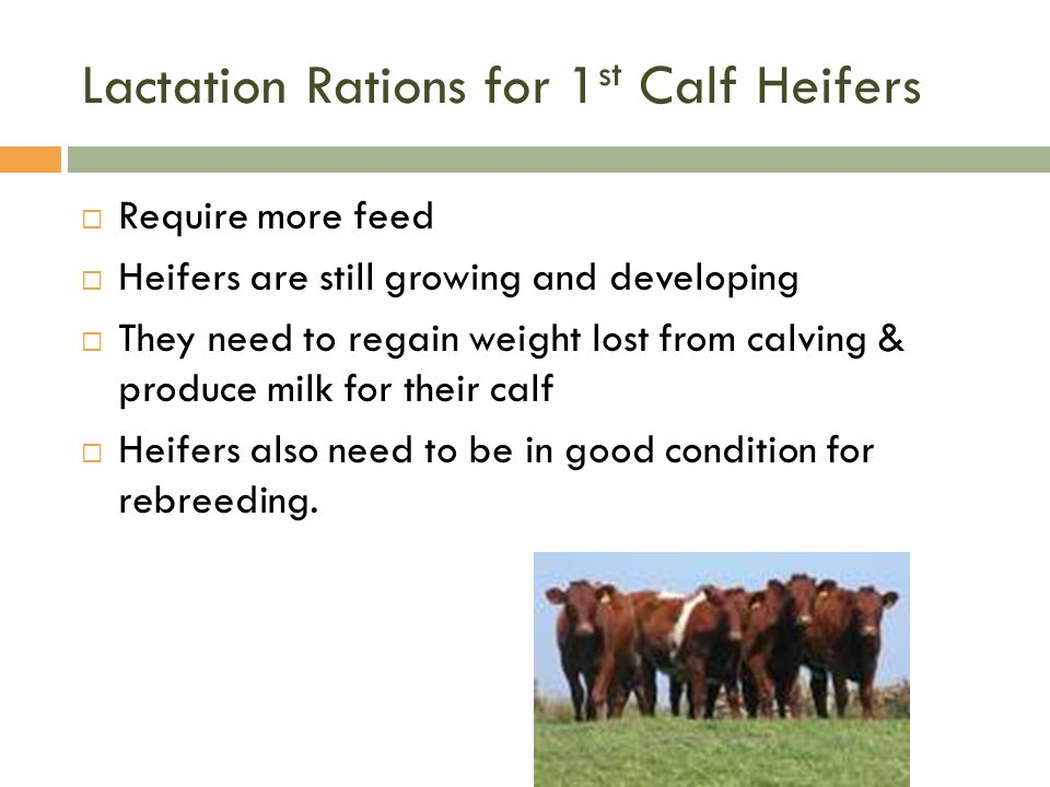 Lactation Rations for 1 st Calf Heifers  Require more feed  Heifers are still growing and developing  They need to regain weight lost from calving
