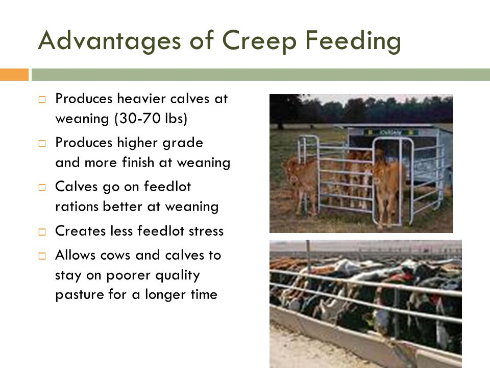 Advantages of Creep Feeding  Produces heavier calves at weaning (30-70 lbs)  Produces higher grade and more finish at weaning  Calves go on feedlot