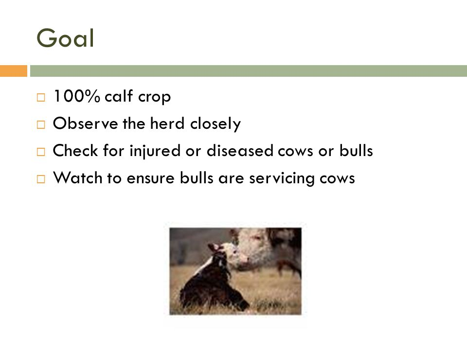 Goal  100% calf crop  Observe the herd closely  Check for injured or diseased cows or bulls  Watch to ensure bulls are servicing cows