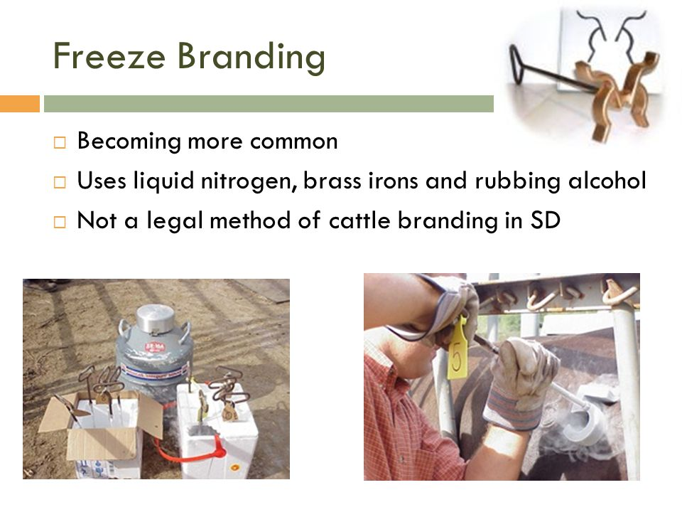 Freeze Branding  Becoming more common  Uses liquid nitrogen, brass irons and rubbing alcohol  Not a legal method of cattle branding in SD