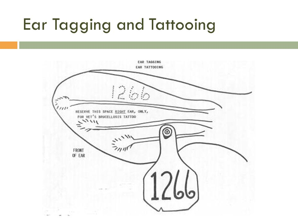 Ear Tagging and Tattooing