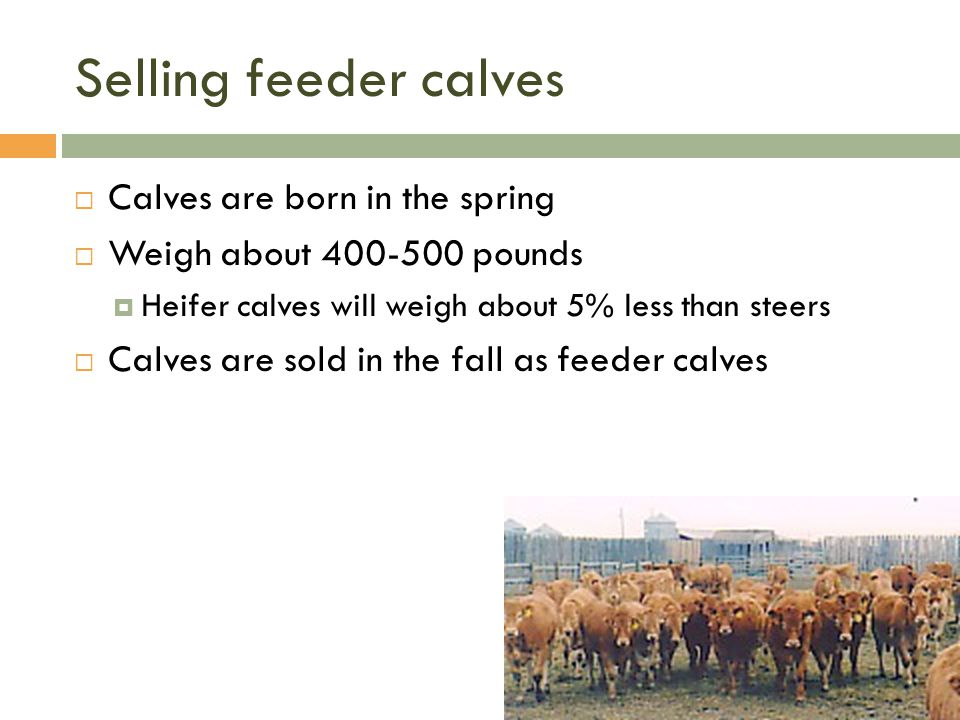 Selling feeder calves  Calves are born in the spring  Weigh about 400-500 pounds  Heifer calves will weigh about 5% less than steers  Calves are s