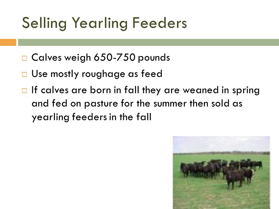 Selling Yearling Feeders  Calves weigh 650-750 pounds  Use mostly roughage as feed  If calves are born in fall they are weaned in spring and fed on