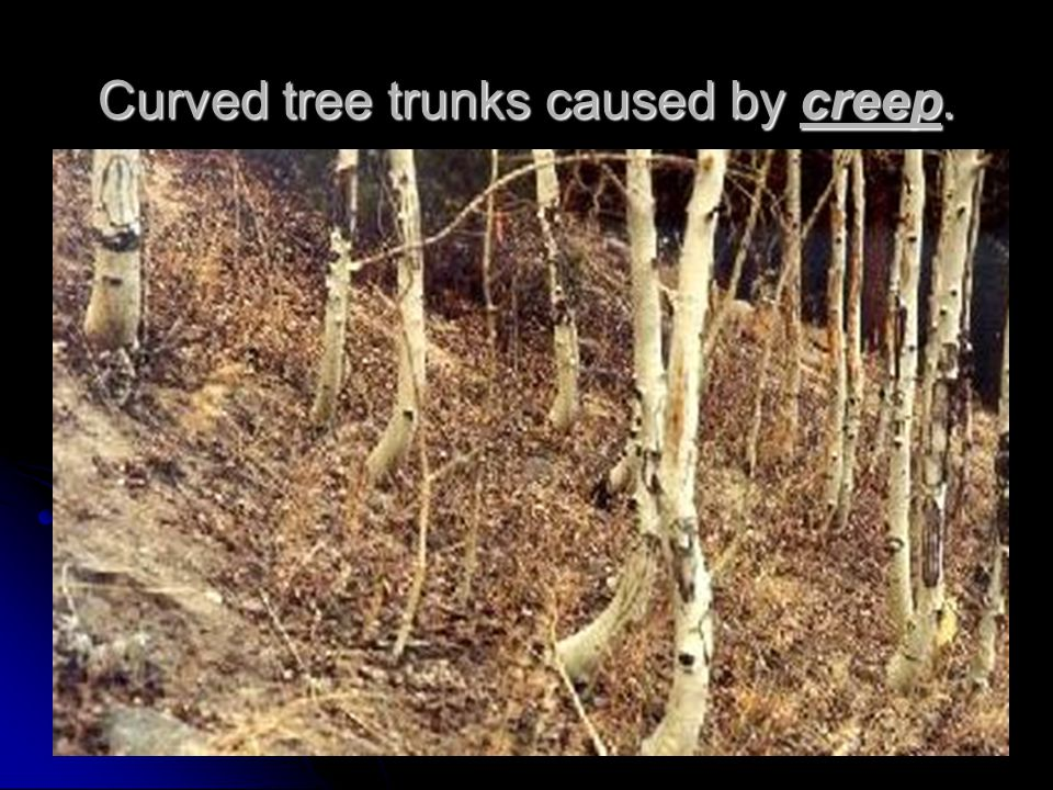 Curved tree trunks caused by creep.