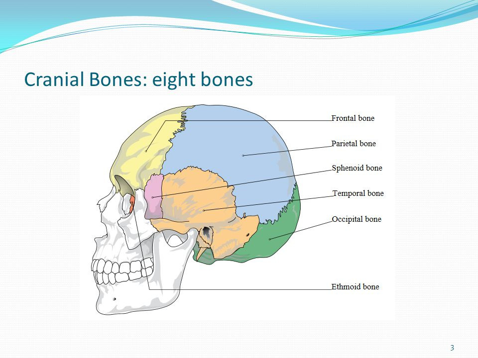 Cranial Bones: eight bones 3